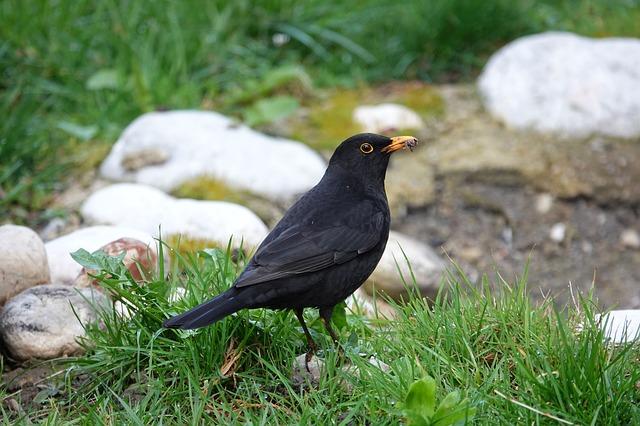 mirlo pájaros cantores