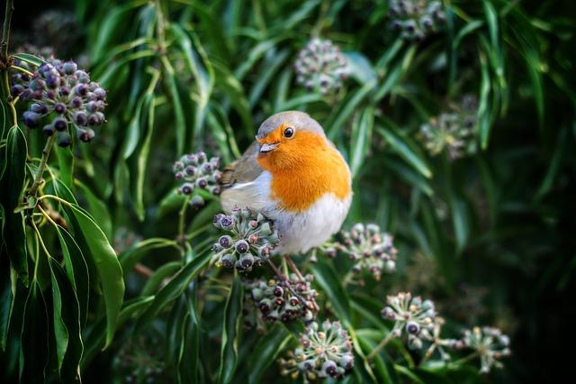 petirrojo pájaros cantores