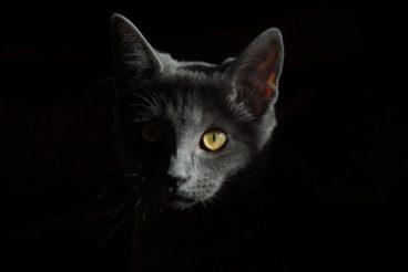 panleucopenia felina