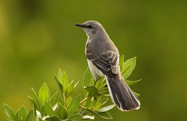 pájaros cantores ruiseñor