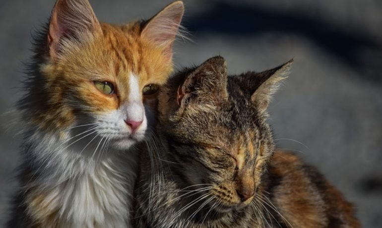 vacuna triple felina