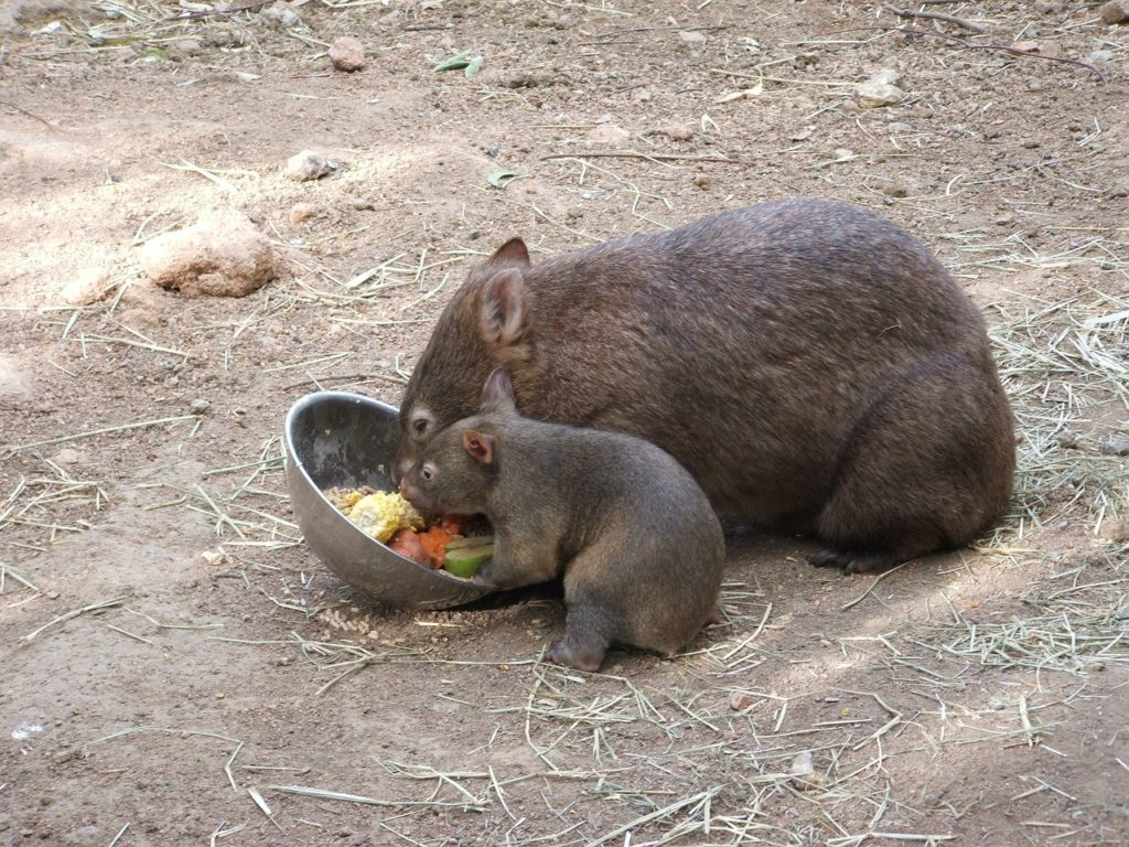 wombat con su cría