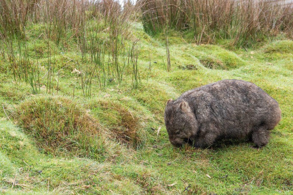 wombat o vombatidae