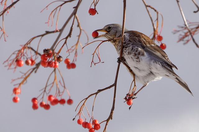 zorzal pájaros cantores