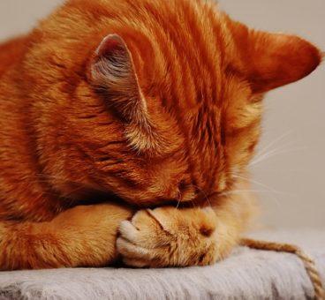 alergia en gatos
