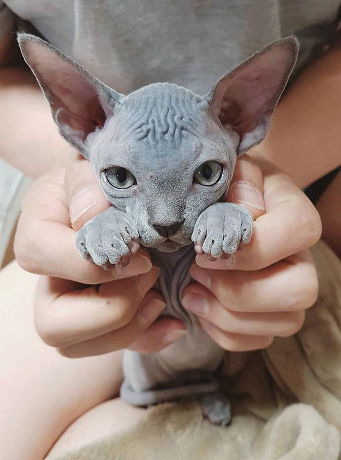 fotos de gatos sphynx