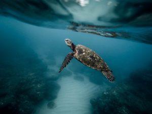 importancia de las tortugas marinas