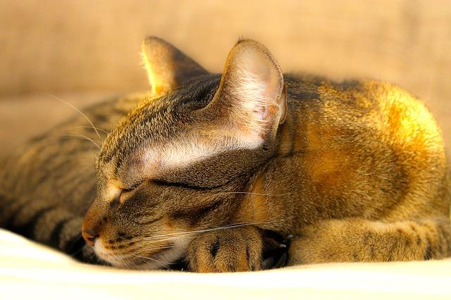 letargia en gatos