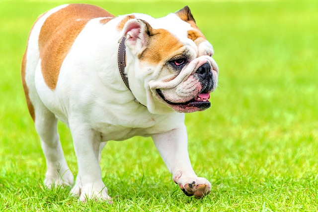 tipos de bulldog