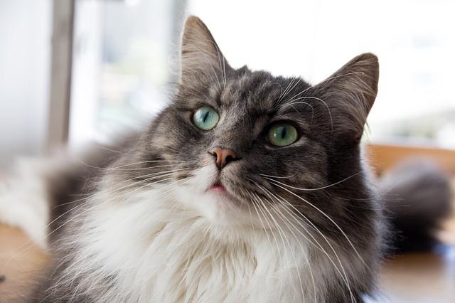 peinar al gato
