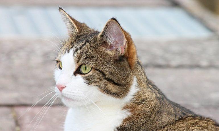 limpiar las orejas al gato
