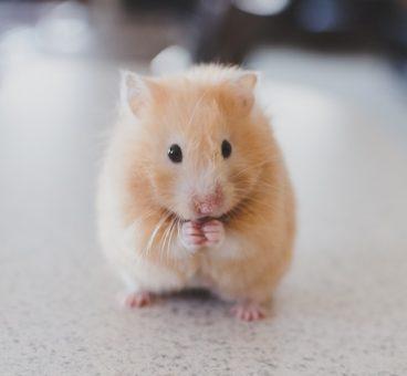 roedores como mascotas