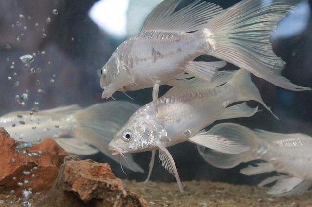 cómo introducir peces nuevos en el acuario