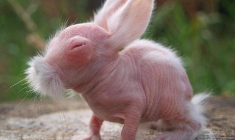 conejo sin pelo