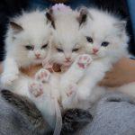 la alergia de los gatos podría tener solución