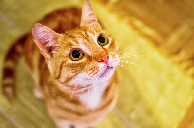 remedios caseros para las pulgas en gatos