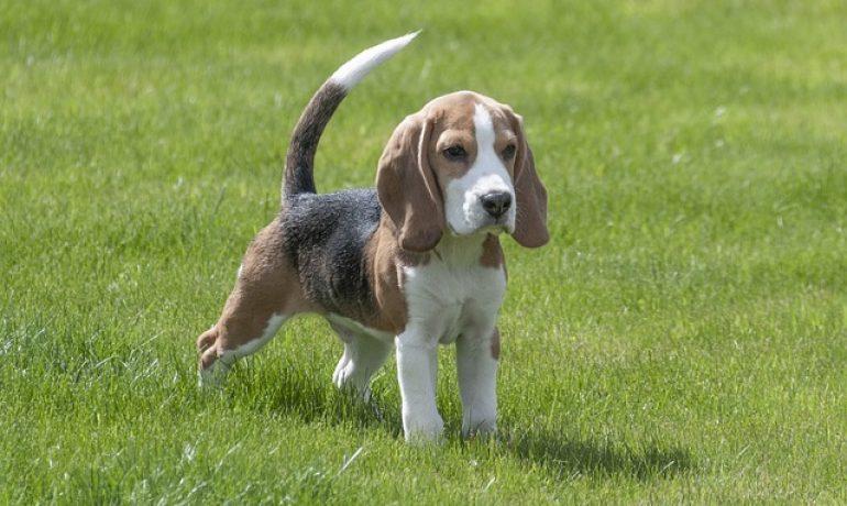 curiosidades de los beagles