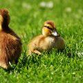 pato como mascota