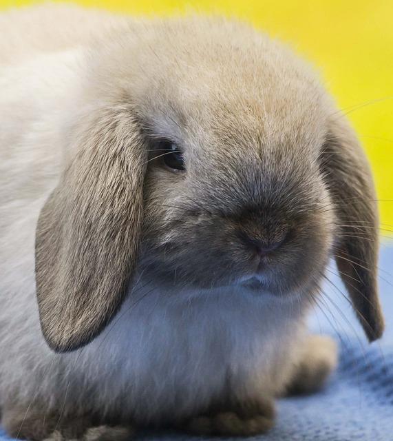 razas de conejos más elegidas como mascotas holland lop