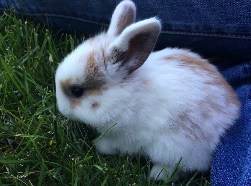 razas de conejos más elegidas como mascotas