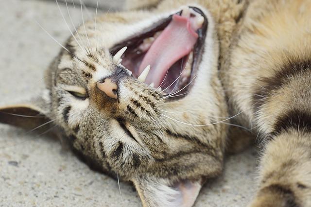 cuidado dental de los gatos