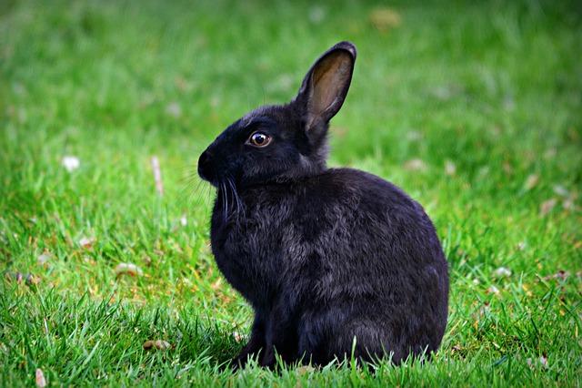 limpiar las orejas a un conejo