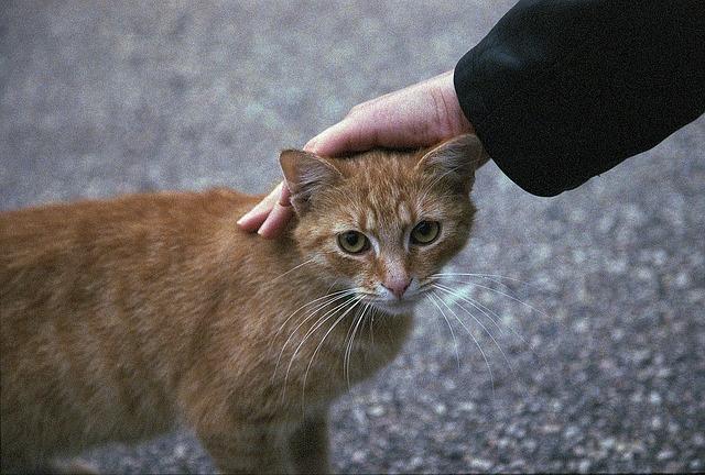 cómo acariciar a un gato