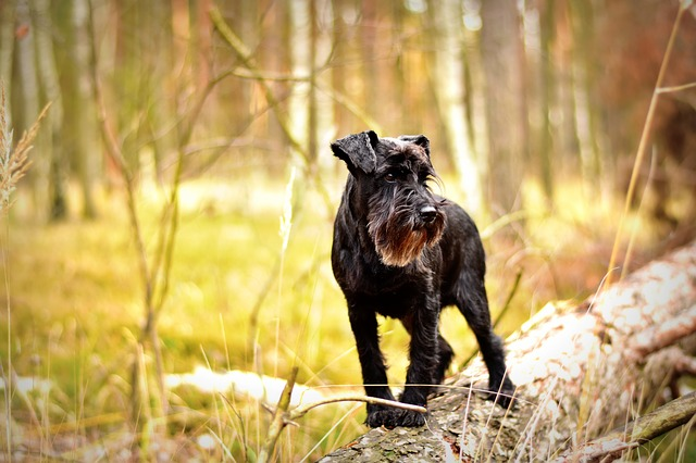 perros propensos a engordar