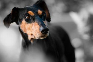 tercer párpado en perros