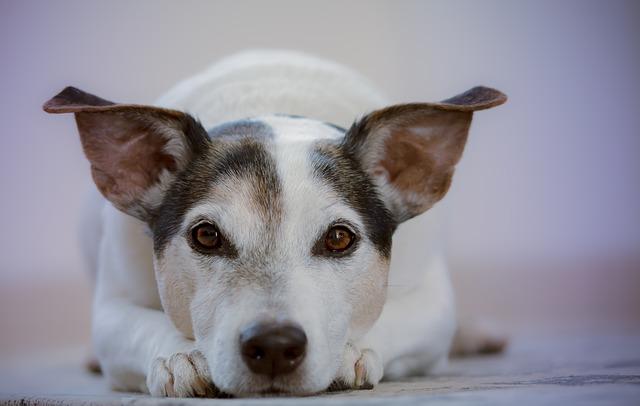 tercer párpado en perros ventajas