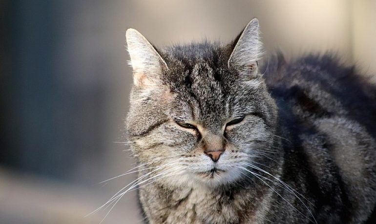 7 enfermedades mortales de los gatos