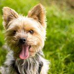 Curiosidades de los Yorkshire Terrier