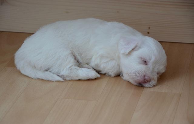 Hernia umbilical en perros causas