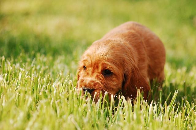 Hernia umbilical en perros
