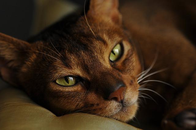 enfermedades mortales de los gatos