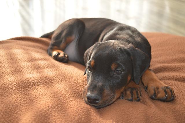 los síntomas de fiebre en un perro