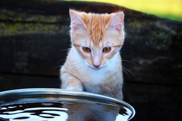 qué hago si mi gato bebe mucha agua