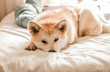 síntomas de fiebre en un perro