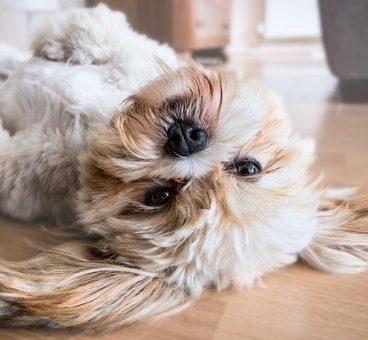 síntomas del embarazo canino