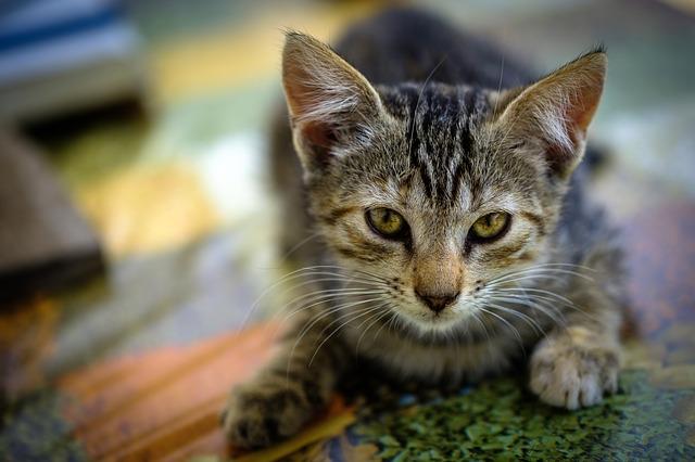 causas de la lipidosis hepática en gatos