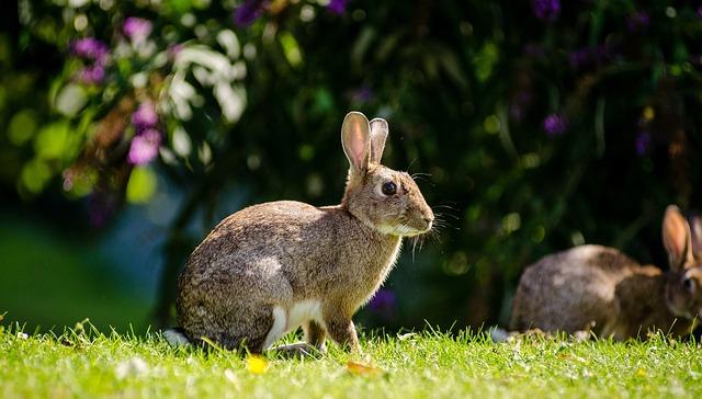 conejo europeo o común está en peligro de extinción en España