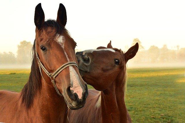 curiosidades de los caballos son muy sociables