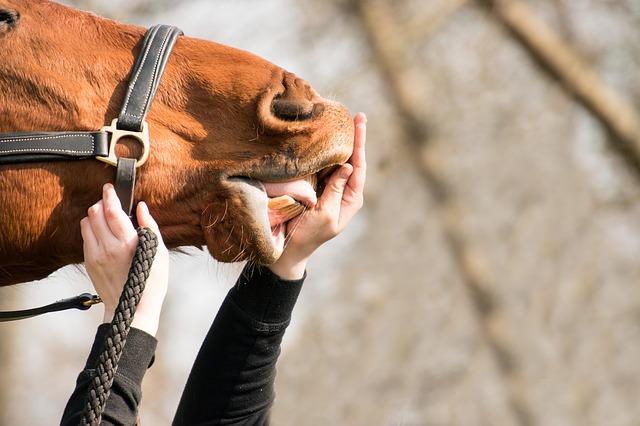curiosidades de los caballos sus dientes dicen su edad