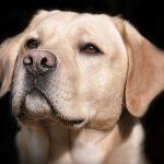 Decoloración en la nariz del perro