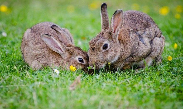 el conejo europeo o común está en peligro de extinción en España