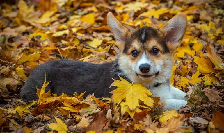 el picor de orejas en perros