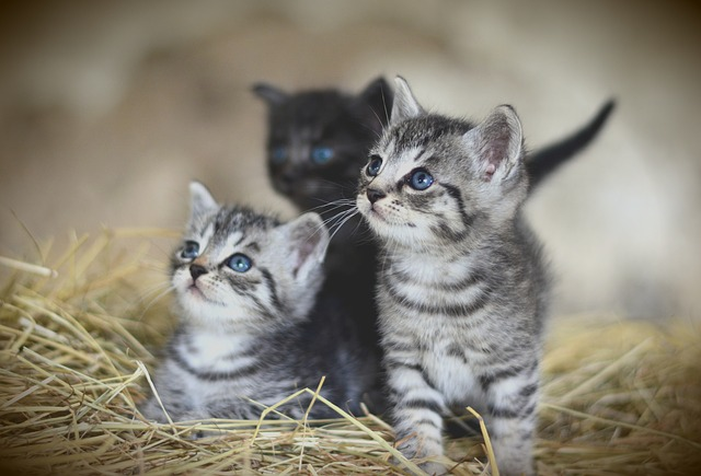 lo que debes saber para cuidar a un gato bebé