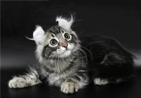 razas de gatos extrañas Gato American curl