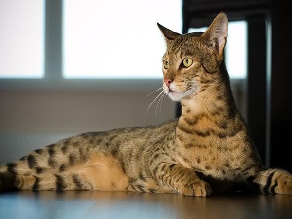 razas de gatos extrañas gato ashera