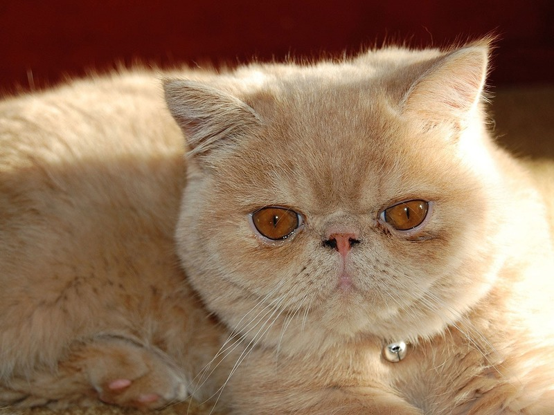 razas de gatos extrañas Gato Exotic shorthair